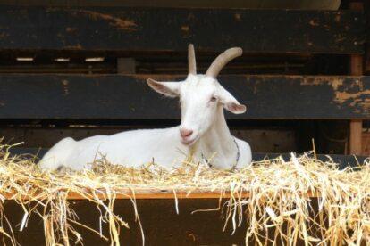 Goat Farm Ridammerhoeve Amsterdam
