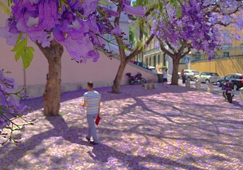 Blooming Jacarandas Lisbon