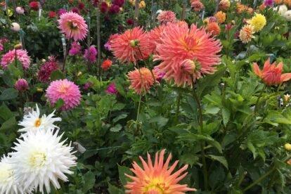 Dahlia Garden San Francisco