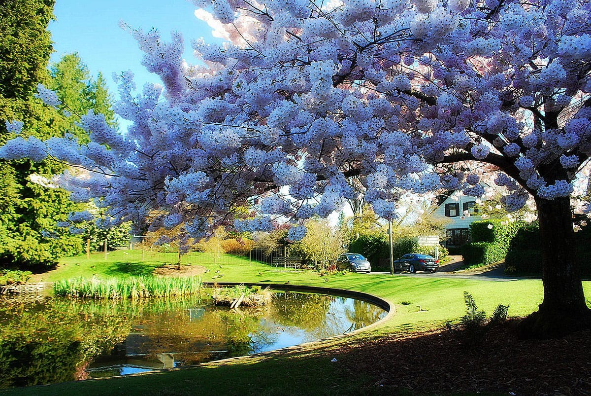 The Cherry Tree and Duck Pond at Maiden Lane and Madrona Drive - by Joe Wolf